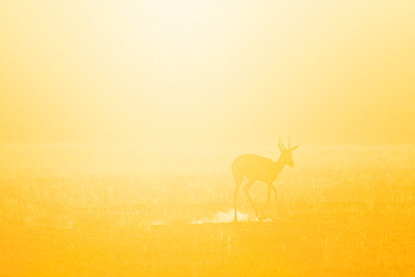 Springbok (Antidorcas marsupialis) at dawn, Kgalagadi Transfrontier Park, South Africa