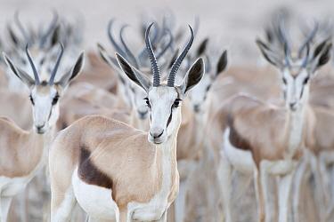 Springbok (Antidorcas marsupialis) herd, Kgalagadi Transfrontier Park, South Africa