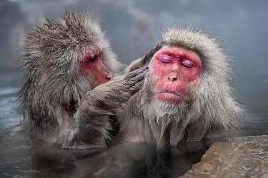 Japanese Macaques (Macaca fuscatata) grooming in hot springs, Jigokudani, Nagano Prefecture, Honshu, Japan
