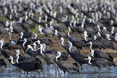 Flock of Hooded Cranes (Grus monacha) Kyushu, Japan