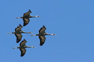 White naped cranes (Grus vipio) in flight, Kyushu, Japan