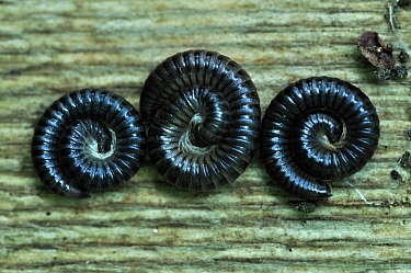 White Legged Snake Millipede (Tachypodoiulus niger) three coiled, Dorset, UK, September.