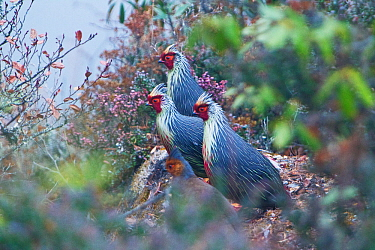 Blood pheasants (Ithaginis cruentus)  in high alpine scrubland gather by the edge of a cliff, Bhutan, Himalaya.