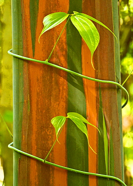 A vine growing on Eucalyptus bark, Tompotika Peninsula, Sulawesi, Indonesia.