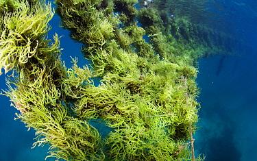 Seaweed farm, near Taglibas, Danajon Bank, Central Visayas, Philippines, April