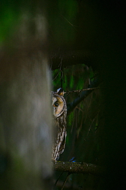 Female Long-eared owl (Asio otus) peeking from behind a spruce tree, Southern Estonia, June.