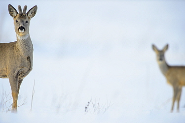 Two Roe deer (Capreolus capreolus) on a snowy field, Southern Estonia, March.