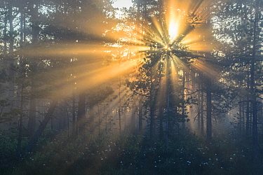 Rays of sunshine behind pine trees, Southern Estonia, May early morning.