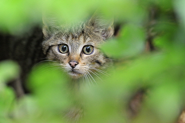 European wild cat (Felis silvestris) kitten portrait, Bavarian Forest National Park, Germany, captive.
