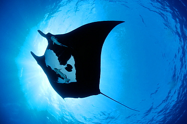 Manta ray (Manta birostris), San Benedicto, Revillagigedo (Socorro) Islands, Mexico, East Pacific Ocean