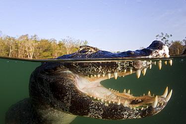 Spectacled caiman (Caiman crocodilus) Rio Baia Bonita, Bonito, Mato Grosso do Sul, Brazil