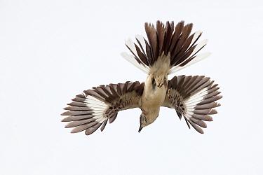 Northern mockingbird (Mimus polyglottos) in courtship display, San Quintin, Baja California Peninsula, Mexico,