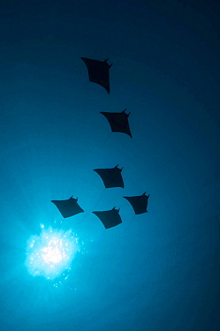 Devil rays (Mobula japonica) viewed from below, South Ari atoll, Maldives.