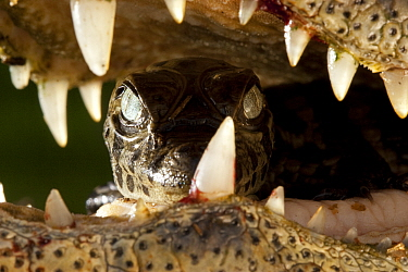 Broad snouted caiman (Caiman latirostris) baby carried in mother's mouth from the nest, Sante Fe, Argentina, February