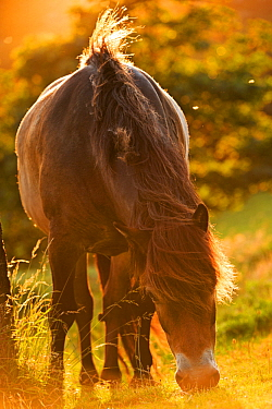 Exmoor National Park pony grazing in the evening summer sunshine at Valley of Rocks, Exmoor National Park, Devon. July 2012.