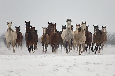 A group of Pure Arab, Shagya Arab and East Bulgarian fillies running in snow, Kabiuk National Stud, Shumen, Bulgaria.