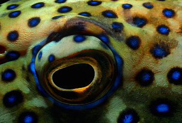 Eye of a Peacock grouper (Cephalopholis argus) Red Sea, Egypt.