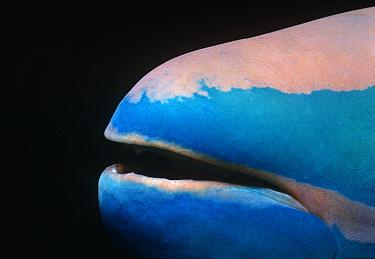 Close up of mouth of a Stoplight parrotfish (Sparisoma viride) Bahamas, Caribbean
