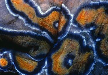Close-up of skin of a Hieroglyphic hawkfish (Cirrhitus rivulatus). Cocos Island, Costa Rica, Pacific Ocean.