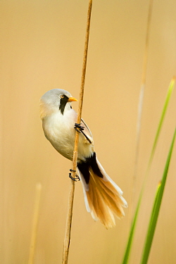 Bearded tit (Panurus biarmicus) male in summer plumage. Hungary, May
