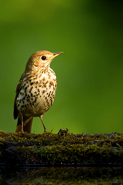 Song thrush (Turdus philomelos clarkei) portrait, Hungary, May.