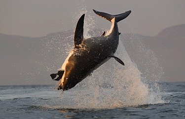 Great white shark (Carcharodon carcharias) breaching whilst attacking seal decoy, Seal Island, False Bay South Africa.  -  Chris and Monique Fallows