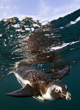 African penguin (Spheniscus demersus) diving underwater, False Bay, Cape Town, South Africa.  -  Chris and Monique Fallows