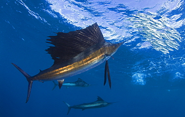 Indo Pacific Sailfish (Istiophorus platypterus) feeding on sardines, Isla Mujeres, Mexico.  -  Chris and Monique Fallows