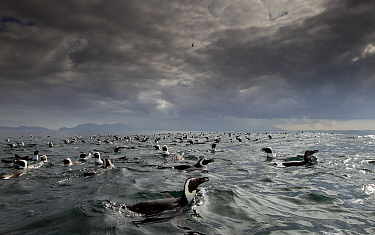 African penguin (Spheniscus demersus) group at surface with cloudy sky, False Bay, Cape Town, South Africa.  -  Chris and Monique Fallows
