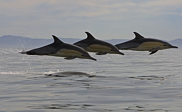 Three Common dolphins (Dephinus delphis) porpoising, False Bay, Cape Town, South Africa.  -  Chris and Monique Fallows