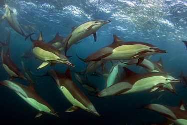 Common dolphin (Dephinus delphis) pod feeding on sardines (Sardinops oecllata) East London, South Africa.  -  Chris and Monique Fallows