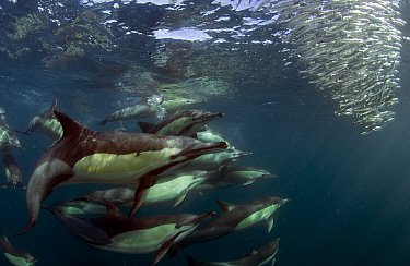 Common dolphin (Dephinus delphis) feeding on sardines (Sardinops oecllata) East London, South Africa.  -  Chris and Monique Fallows