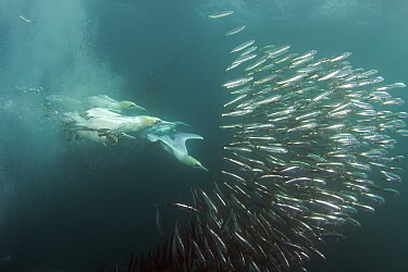 Cape Gannet (Morus capensis) feeding on sardines, Port St Johns, Transkei, South Africa.  -  Chris and Monique Fallows