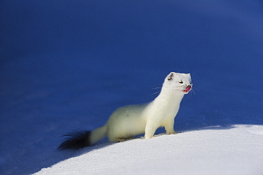Stoat (Mustela erminea) in white winter coat. Vauldalen, Sor-Trondelag, Norway, May.