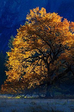 Black oak (Quercus velutina) in autumn, in Yosemite valley, Yosemite National Park, California, USA, December 2012.