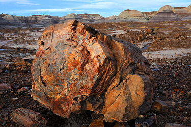 Petrified wood segment, Blue Mesa Badlands, Petrified Forest National Park, Arizona, USA, December 2012.