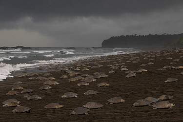 Olive ridley sea turtles (Lepidochelys olivacea) females coming ashore during an arribada (mass nesting event) to lay eggs, Pacific Coast, Ostional, Costa Rica.
