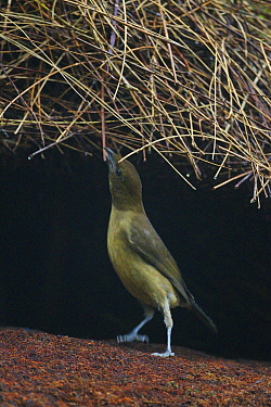 Male Vogelkop Bowerbird (Amblyornis inornatus) constructing bower roof. Arfak Mountains, West Papua, Indonesia.