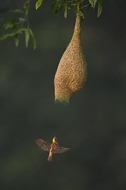 Baya weaver (Ploceus philippinus) male flying to nest entrance, Singapore