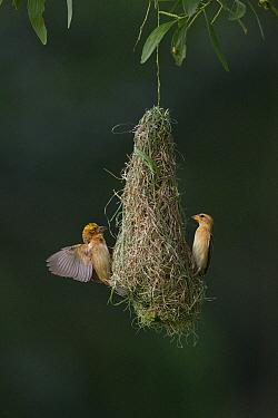 Baya weaver (Ploceus philippinus) subadult birds practising building 'play nest', Singapore.