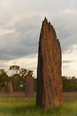 Magnetic Termite (Amitermes meridionalis) mounds in grassland, Litchfield National Park, Northern Territory, Australia.