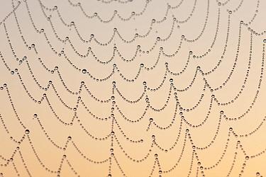 Garden Spider (Araneus diadematus) web with dew drops, at sunrise, Germany, August.