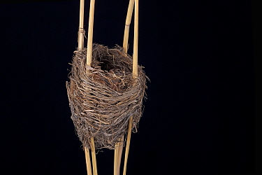 Reed Warbler (Acrocephalus scirpaceus) nest in Senckenberg Natural Hystory Collection Dresden, Germany.