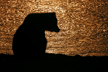 Grizzly bear (Ursus arctos horribilis) silhouette at sunset, Lake Clark National Park, Alaska, USA, July.