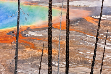 Burned trees in front of Grand Prismatic Spring, Midway Geyser Basin, Yellowstone National Park, Wyoming, USA, September 2011.