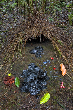 Bower of Vogelkop Bowerbird (Amblyornis inornatus) decorated with various types of leafs, beetle wing covers, black and brown fungi, red flowers and blue berries, Arfak Mountains, West Papua, Indonesi...
