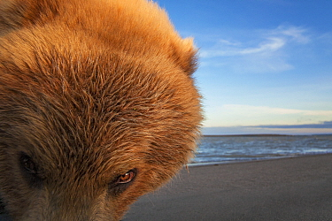 Grizzly bear (Ursus arctos horribilis) picture taken with a remote camera car, Alaska, July.