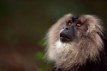 Lion-tailed macaque (Macaca silenus) male portrait. Anamalai Tiger Reserve, Western Ghats, Tamil Nadu, India.