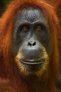 Sumatran orangutan (Pongo abelii) female 'Pesec' aged 28 years portrait. Gunung Leuser National Park, Sumatra, Indonesia. Apr 2012. Rehabilitated and released (or descended from those which we...