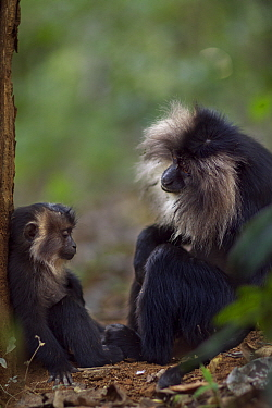 Lion-tailed macaque (Macaca silenus) female sitting with her baby aged 12-18 months. Anamalai Tiger Reserve, Western Ghats, Tamil Nadu, India.